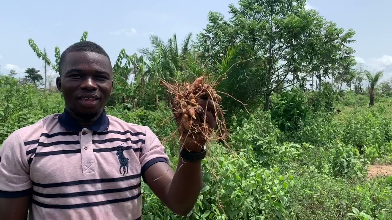 TURMERIC FARMING - Ghana