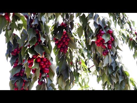 BAZAR: Efforts To Boost Cherry Farming Discussed