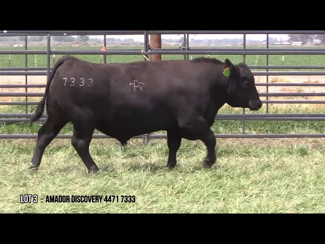 Mid Valley Bull Sale Lot 3