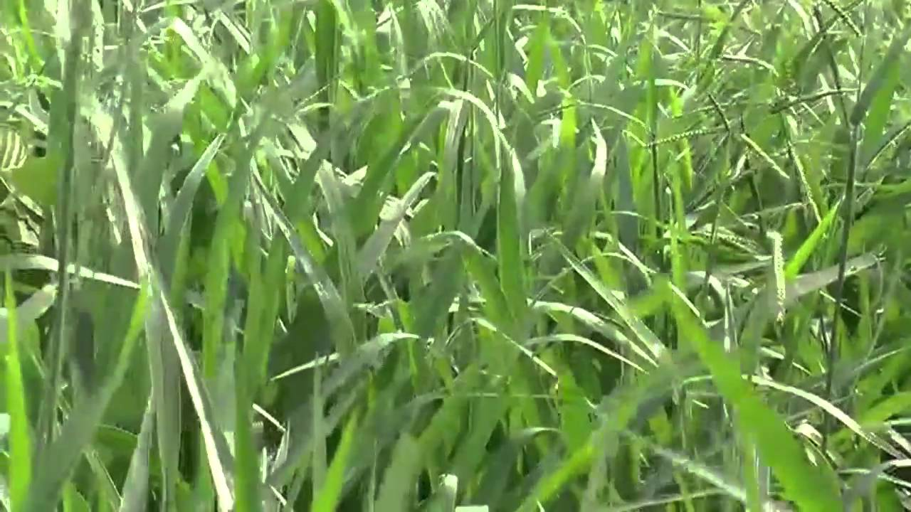 special grass for livestock could cut greenhouse gases