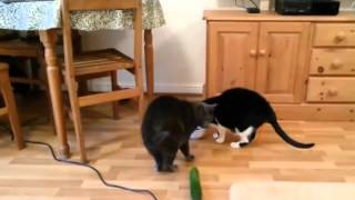 Реакция кошек на огурцы