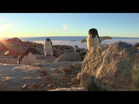 Adelie penguins (Pygoscelis adeliae) stealing rocks from a nest, Adelie Land, Antarctica