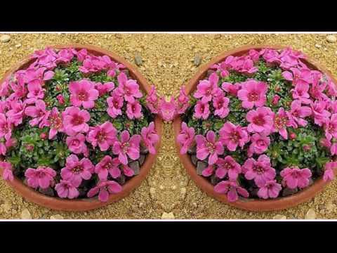 Камнеломка комнатная - домашние растения