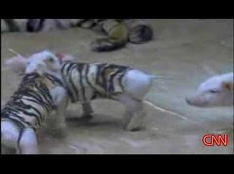 Tiger befriends piglets in zoo