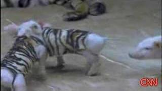 Tiger befriends piglets in zoo