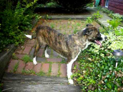 Raisin * Brindle Boxer/Lab Mix Looking for a Home - YouTube