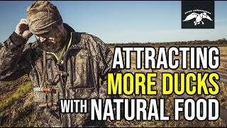 Attracting More Ducks with Natural Food | Duck Hunting Tips