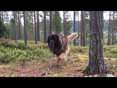 Leonberger running in the forest