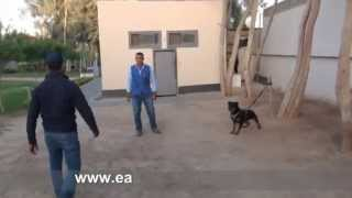 Eastwind Training/ Dog Name/ Bella (protection Course)