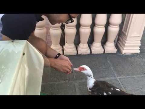 Travel in Azerbaijan - Feeding a duck ( video 8)