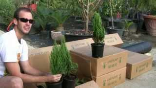 **Plant Blue Point Juniper Bush* +Correctly+Juniperus chinensis+