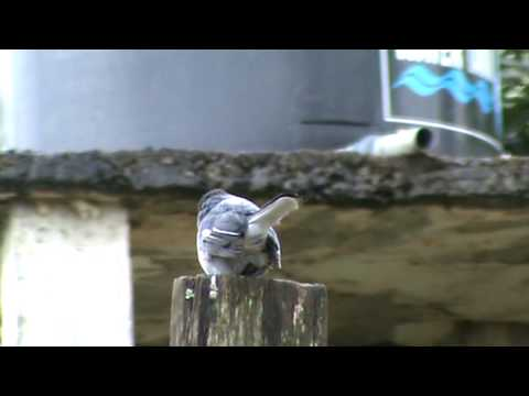 Oriental Magpie Robin - Asian Magpie -  (My holiday videos)