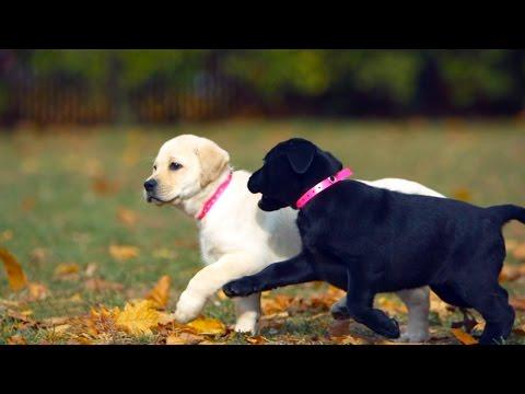 Labradors Are America's Favorite Dog?