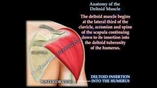 Anatomy Of The Deltoid Muscle - Everything You Need To Know - Dr. Nabil Ebraheim