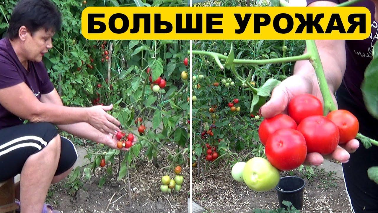 Дополнительный урожай томатов поспел  Результат моего эксперимента