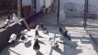 Flying Pigeons of Ustad Shahid Khan Islamabad