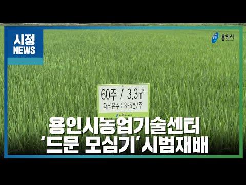 용인시농업기술센터 '드문 모심기'시범재배