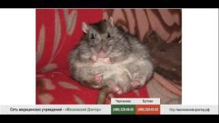 Крысы – провокаторы аллергии