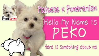 I'm Introducing myself. I'm a maltese x pomeranian (maltipom) 3 months female puppy 'PEKO'