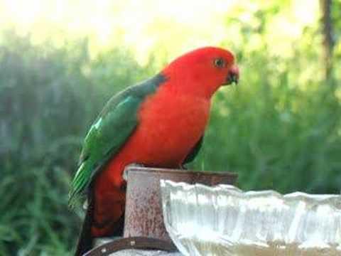 Fart while videoing Australian King Parrot