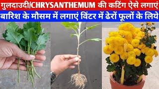 सेवंती|गुलदाउदी की कटिंग ऐसे लगाएं|विंटर में ढेरों फूलों के लिए|chrysanthemum from cuttings|monsoon