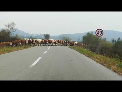 Krave Na Putu, - Cows On The Road Croatia