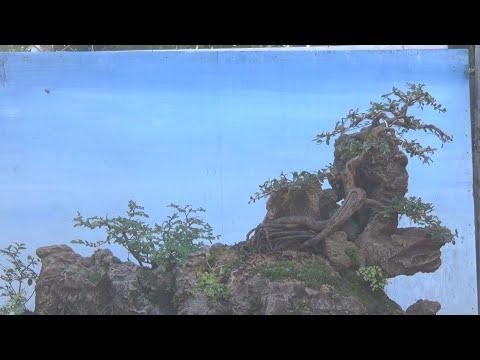 penjing com cascata bonsai ulmus
