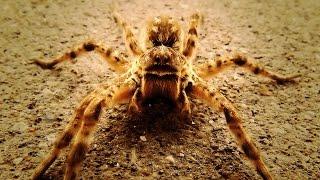 Будьте осторожны: ядовитые пауки!
