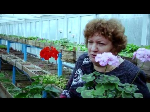 Как вырастить пеларгонию (герань) из семян. Рассада герани