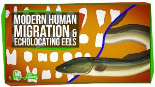Modern Human Migration And Echolocation Eels
