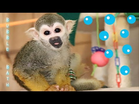 baby-squirrel-monkey-ollie-hot-bubble-bath-🛁