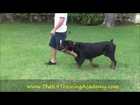 Rottweiler with Advance Obedience - The K9 Training Academy