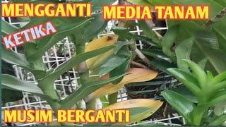 Media tanam anggrek ketika Musim hujan    bulbophylum