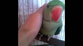 Ручной Александрийский попугай большой кольчатый