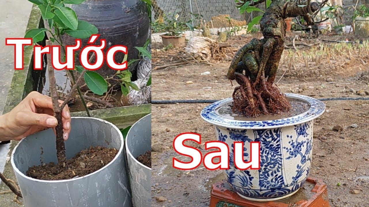 Làm cho cây lộc vừng có bộ rễ quái và đẹp theo ý muốn – BShp