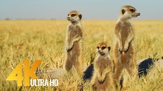 4K African Wildlife - Cute Meerkats and Squirrels - Wild Animals Video, Africa