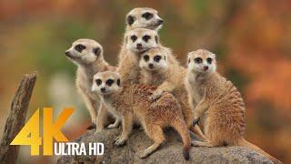 4K African Wildlife & Cute Meerkats and Squirrels - Wild Animals Video, Africa