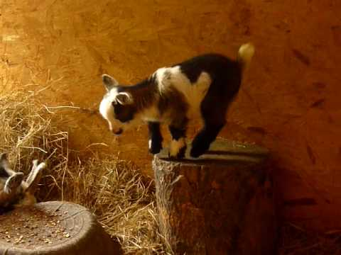 Cute Baby Goats Playing - YouTube |Baby Goats Playing Youtube