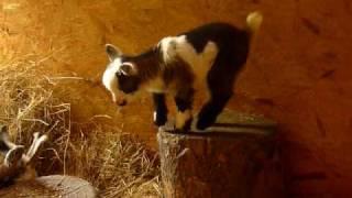 Pygmy goat kid playing