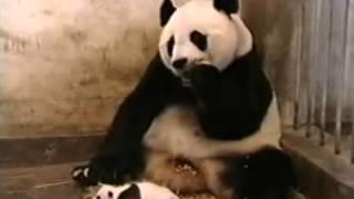 Панда которая смешно чихает - приколы с животными