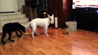 Zelda (bull Terrier) And Ruger