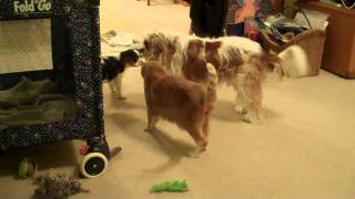 Cavalier King Charles Spaniel Puppy Vs. Cat