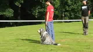 Bearded Collie Buffy - Obedience Trials
