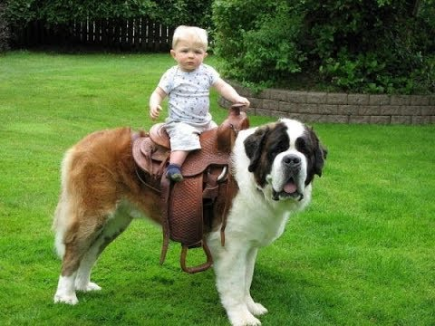 Baby Playing with St Bernard Dog A Beautiful friendship! Dogs With Babies