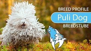 Hungarian Puli Dog Breed, Temperament & Training
