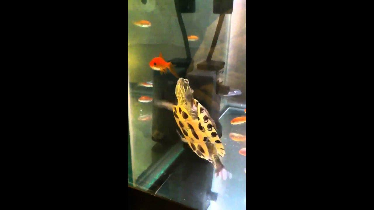 Painted turtle eats a goldfish - YouTube