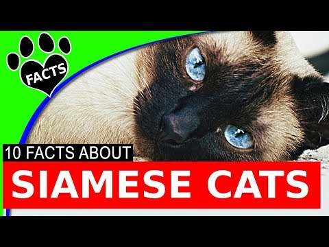 Siamese Cats Most Popular Cat Breeds Cats 101 Facts - Animal Facts