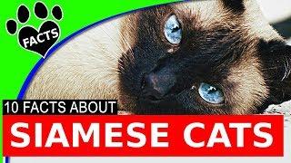Siamese Cats 101