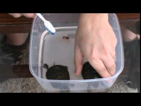 Cleaning your Pet Turtle Shell
