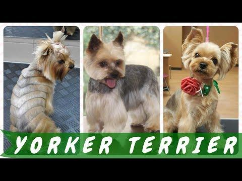 Frisur Yorkshire Terrier